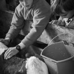 Nourrissage des veaux