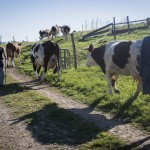 Sortie des vaches